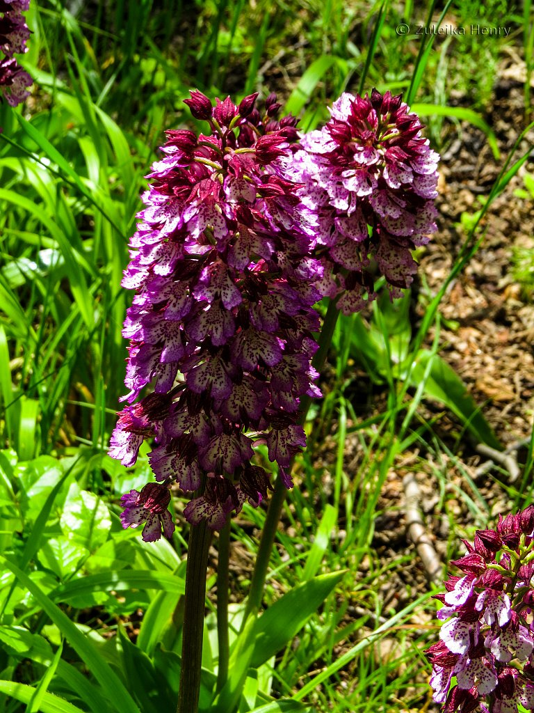 Lady Orchids in bloom, Piedmont, Italy
