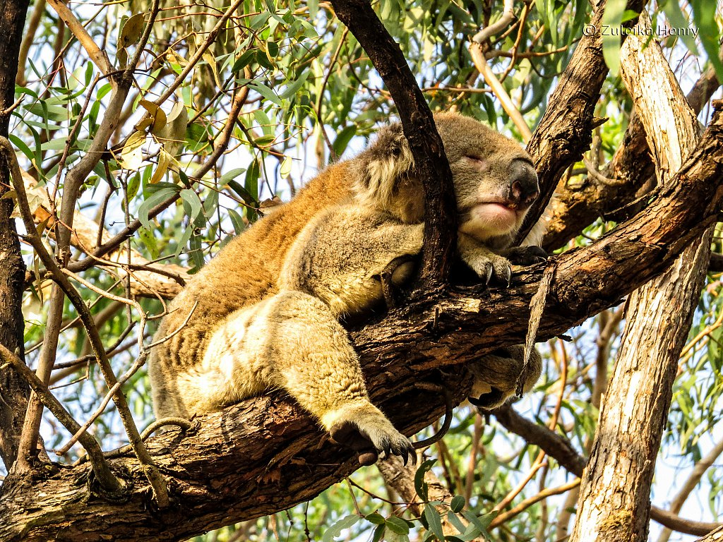 The Koalas of Raymond Island