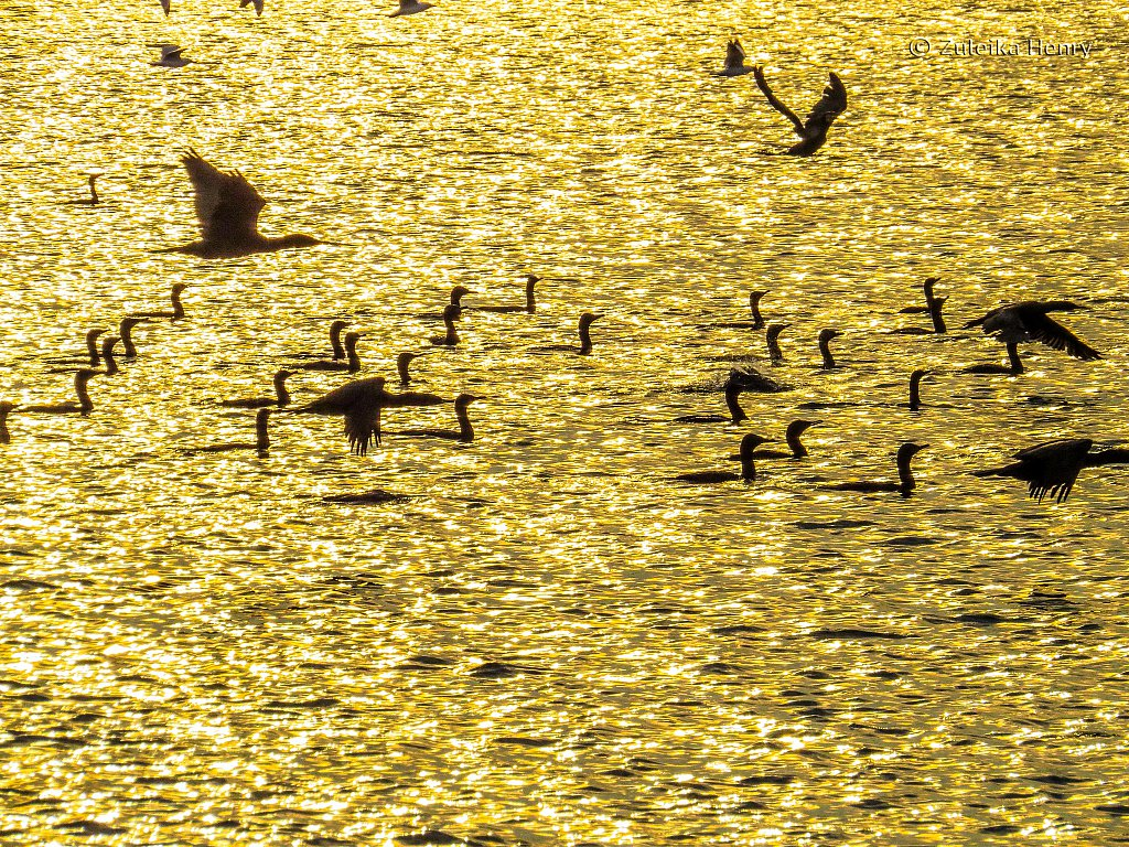 Birds by Raymond Island at sunset